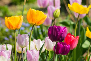 How to Deadhead a Tulip