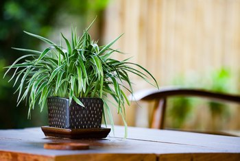 How to Keep the Ends of My Spider Plant from Turning Brown