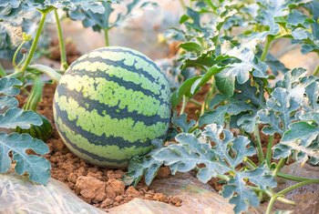 Tricks & Tips to Germinate Watermelon Seeds