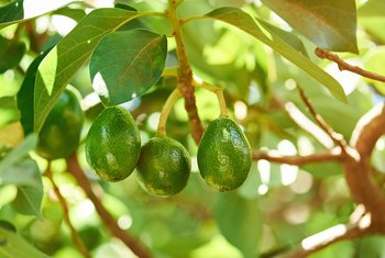 Do You Need Two Avocado Trees to Reproduce?