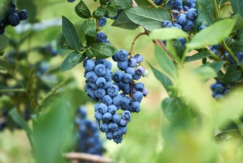 How Long Does it Take Blueberry Plants to Produce?