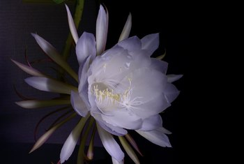 How to Grow a Queen of the Night Cactus