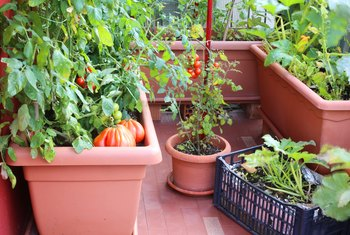 How to Grow Zucchini in Pots