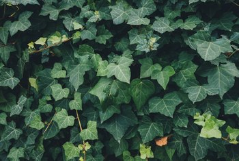 How to Grow Hedera Helix Ivy Indoors