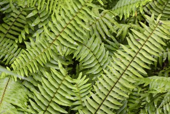 How to Grow Ferns From Clippings