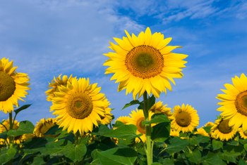 Growth Period for Sunflowers