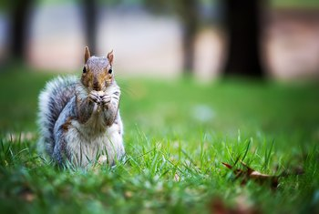What Can You Use to Discourage Squirrels From Eating Your Hibiscus Plants?