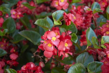 How Often Do Begonias Need to Be Watered?