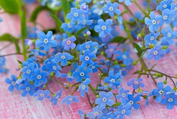 How to Grow Forget-Me-Nots Indoors