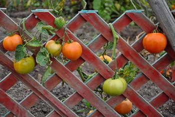 The Vegetable Plants for a Trellis