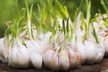Can I Plant My Garlic if It Is Sprouting?
