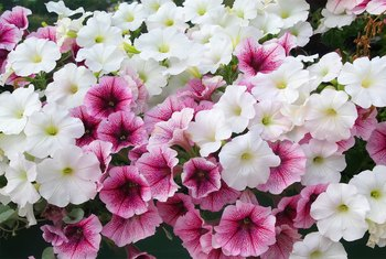 The Differences Between Wave & Cascading Petunias