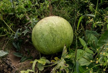 I Have Marble Size Watermelons: How Long Before They Mature?