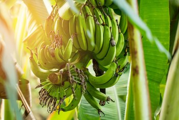 How Long Until Banana Trees Yield Fruit?
