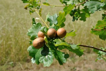 How to Get Rid of Oak Galls