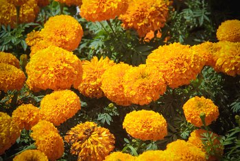 How Long Does It Take Marigolds to Germinate?