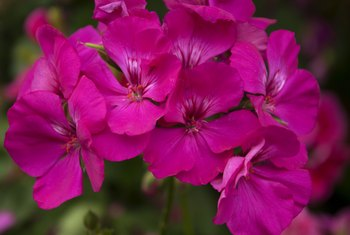 How to Get More Blooms From Hardy Geraniums