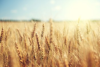how long do wheat plants take before the harvest home guides sf
