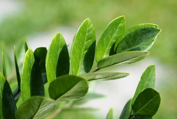How to Care for a Zamioculcas Zamiifolia Plant With Yellowing Leaves