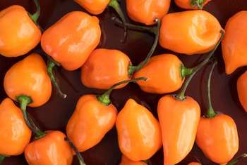 When Is a Habanero Pepper Ready to Pick?