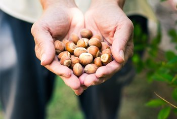 How Long Does It Take a Hazelnut Tree to Produce Nuts?
