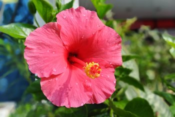 What Type of Root Does a Hibiscus Have?