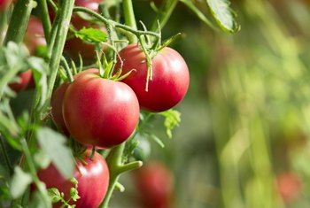 How Much Should You Water Tomato Plants Every Day?