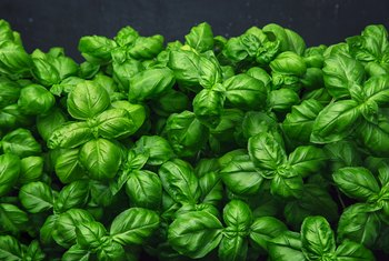 How to Take Care of an Indoor Basil Plant