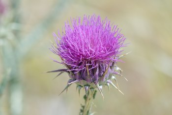 The Best Way to Get Rid of Thistles in Your Garden