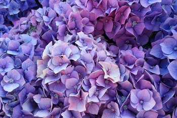 When to Cut Old Flowers Off of a Hydrangea