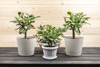 How to Repot a Jade Plant in Perlite