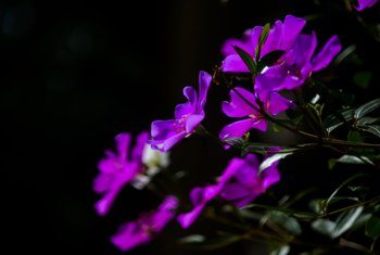 How to Care for a Tibouchina Plant