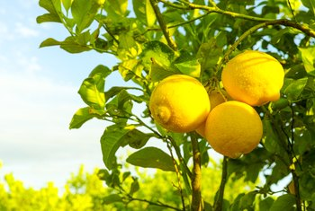 The Best Mulch for Lemon Trees