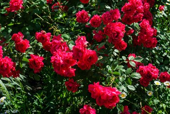 Homemade Remedies to Kill Rose Bush Diseases & Insects
