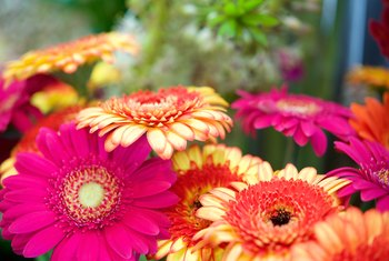 How to Fix Drooping Gerbera Daisies