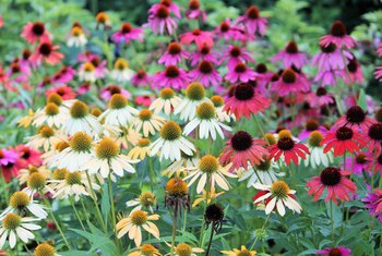 How to Grow Coneflowers From Collected Seeds