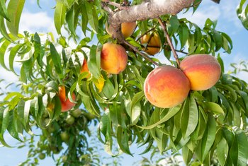 What Are the Different Varieties of Peaches?