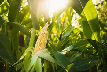 How to Save Sweet Corn to Plant Next Year