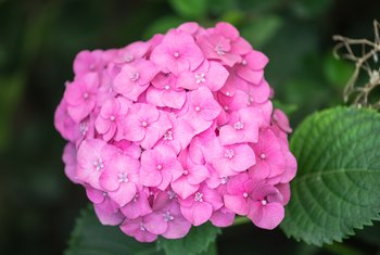 When to Plant Hydrangeas Outside?
