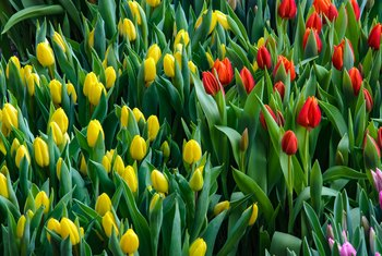 Can You Save Potted Tulip Bulbs?