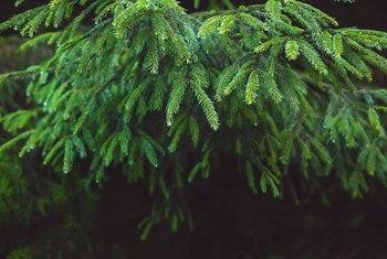 What Types of Evergreen Trees Don't Get Tall?