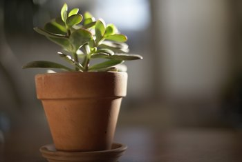 Problem With Jade Plant Leaves That Are Flat & Not Plump