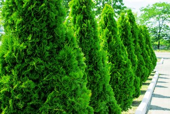 How to Plant Green Giant Arborvitae