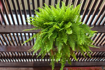 How to Care for Ferns in Hanging Pots