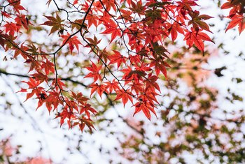 How to Germinate a Japanese Red Maple Seed