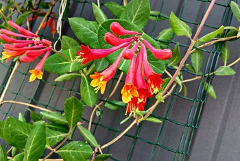 How to Root Honeysuckle Plants From Cuttings