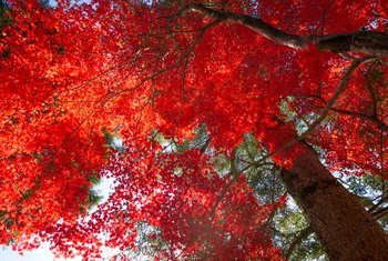 Pros & Cons of Red Maple Trees