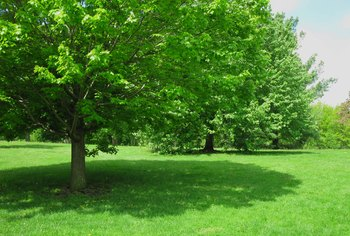 Fast-Growing Shade Trees That Won't Destroy Hardscape