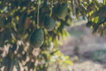 Pictures Avocado Trees