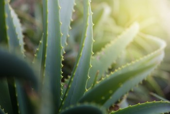 How Often Do You Water an Aloe Vera Plant?